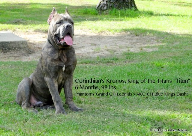 Pin By Jasmine Williams On Cane Corso Tribute Cane Corso Corso Dog Cane Corso Dog