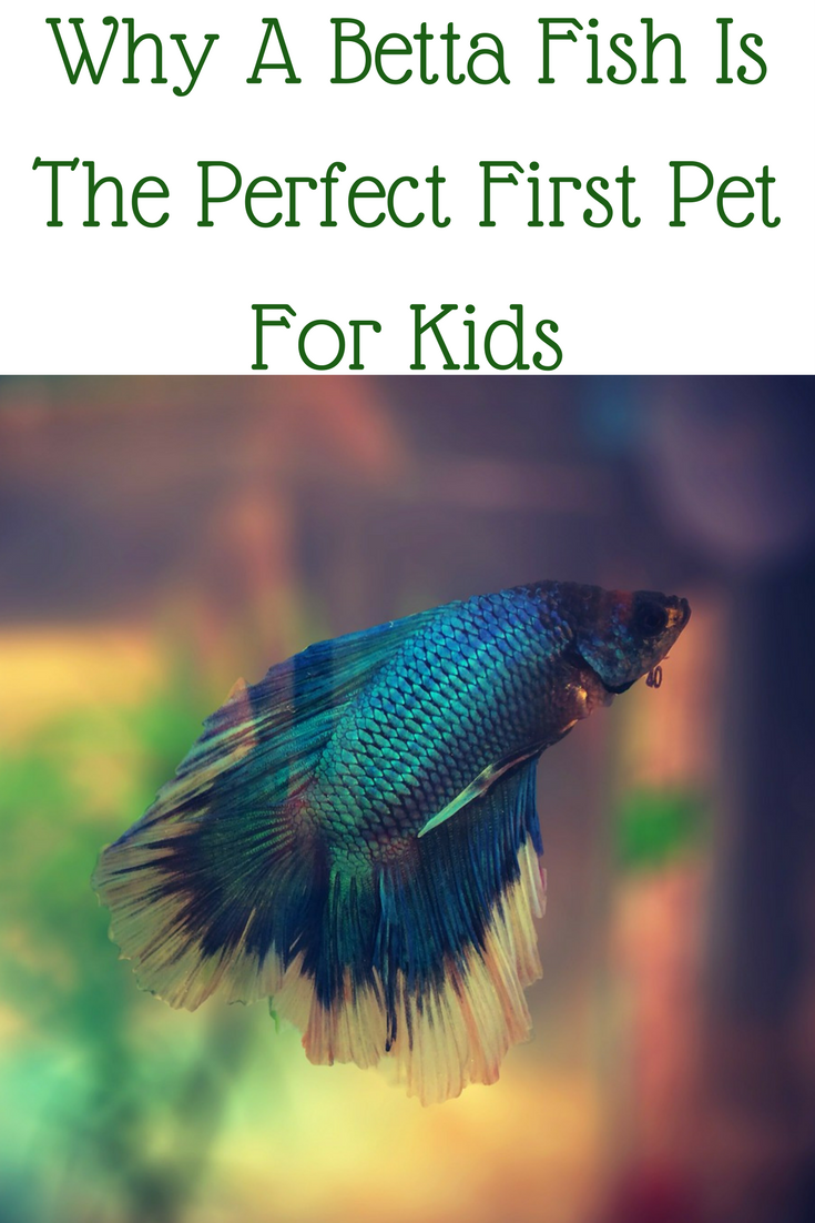 Why A Betta Fish Is The Perfect First Pet For Kids Animals For Kids Pet Fish Pets