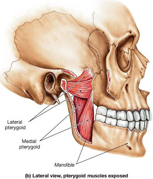 Protrudes The Mandible Fibers Run Horizontally Lateral Pterygoid