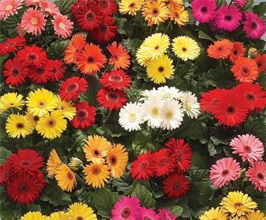 Gerber Daisies Flower Seeds Flower Seeds Online Flower Garden Design