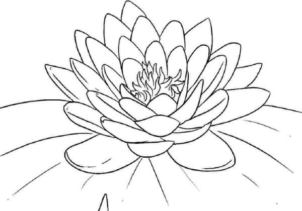Amazing Lotus Coloring Pages Free Printable Lotus Flower Colors