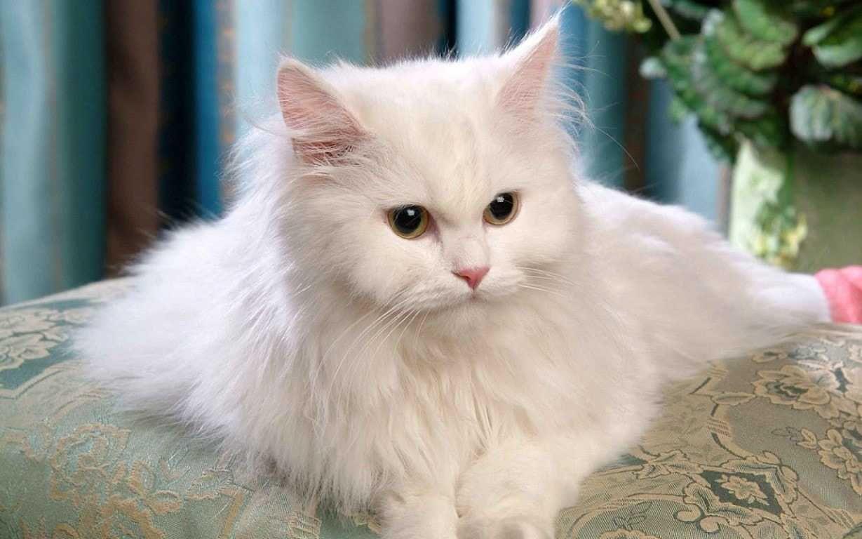 The Persian Cat Persian Cat White Cute Cats Most Beautiful Cat Breeds