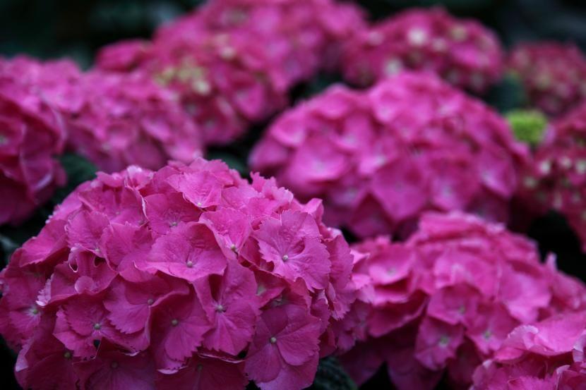 C mo podar las hortensias arboles y arbustos poda de - Hortensias cuidados poda ...