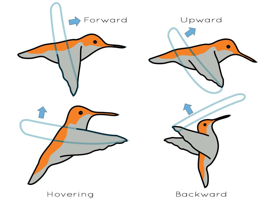 Hummingbird Flight Diagram Birds That Fly Backwards What Is A Bird Bird Animal Illustration
