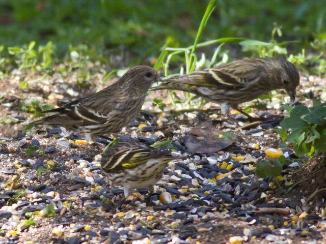 Pine Siskin Siskin List Of Birds Botany Bay