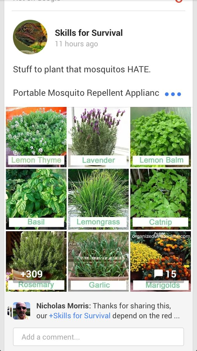 What To Plant To Keep Mosquitos Away Fun Stuff