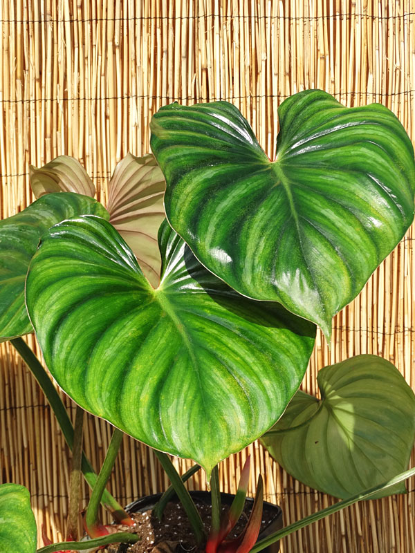 Philodendron Plowmanii Ugh I Want It Elephantearsandtropicals Philodendron Plowmanii Ugh I Want It Philodendron Plant African Plants Plants