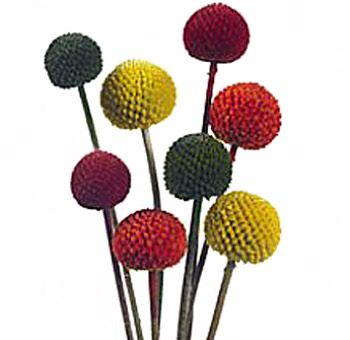 I Didn T Know They Weren T All Yellow Billy Balls Billy Buttons Craspedia