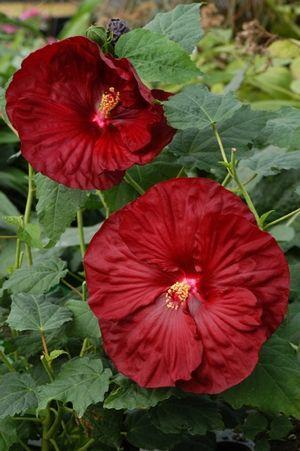 Hibiscus Robert Fleming Rosemallow From North Creek Nurseries Hardy Hibiscus Hibiscus Flowers Hibiscus
