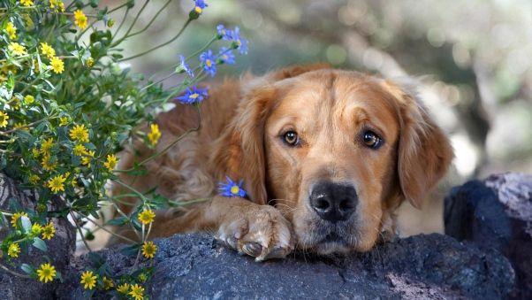 Pin By Helena On Retriever Love Snoopy Love Golden Retriever Dog Breed Info Retriever Laptop hd golden retriever wallpaper
