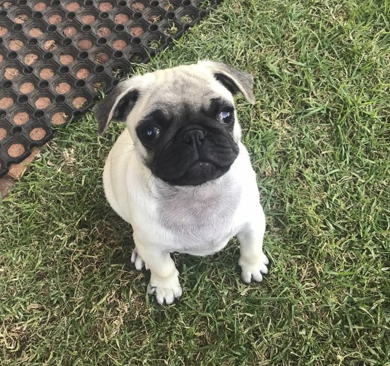 Pug Rescue Profile Pugs Pug Puppies Pugs Pug Rescue
