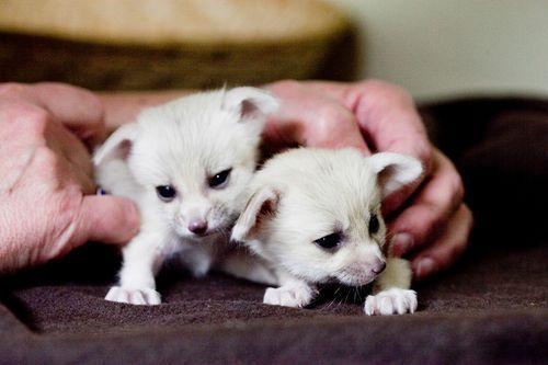 Newborn Fennec Foxes Cute Wild Animals Fennec Fox Baby Fennec Fox