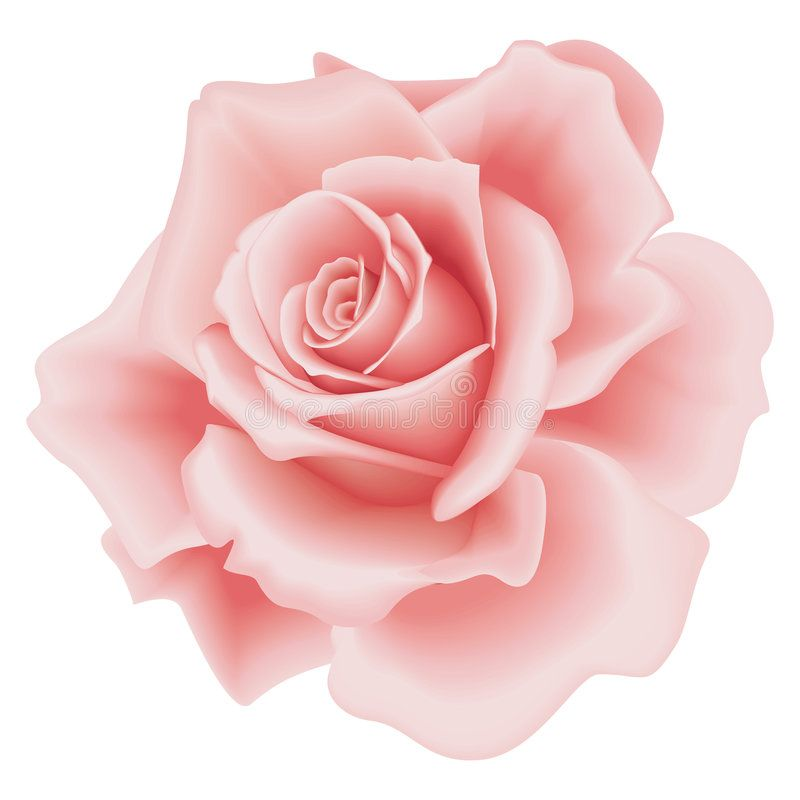 Isolated Pink Rose Isolated Beautiful Pink Rose On The White
