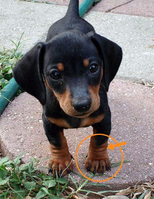 Chubbsters Chubblies Dog Mixes Weiner Dog Rottweiler Mix