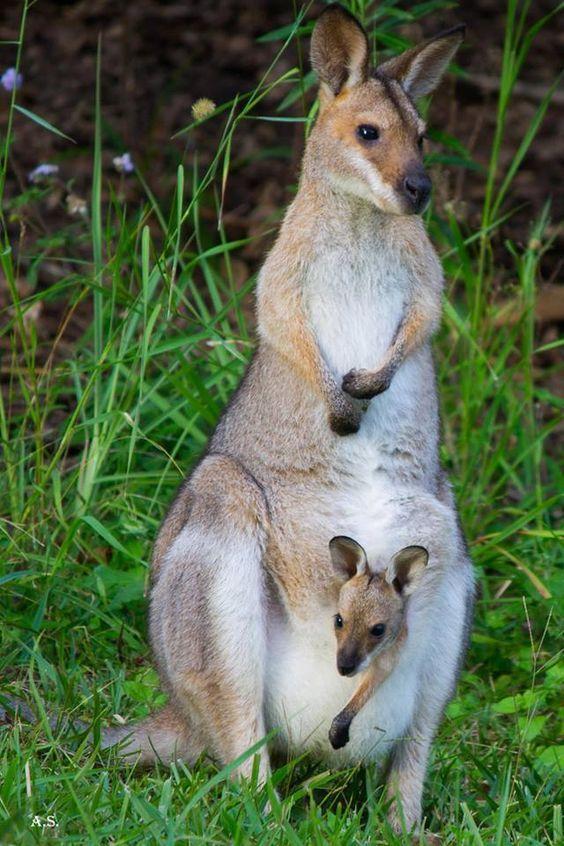 Kanguru ile yavrusu -