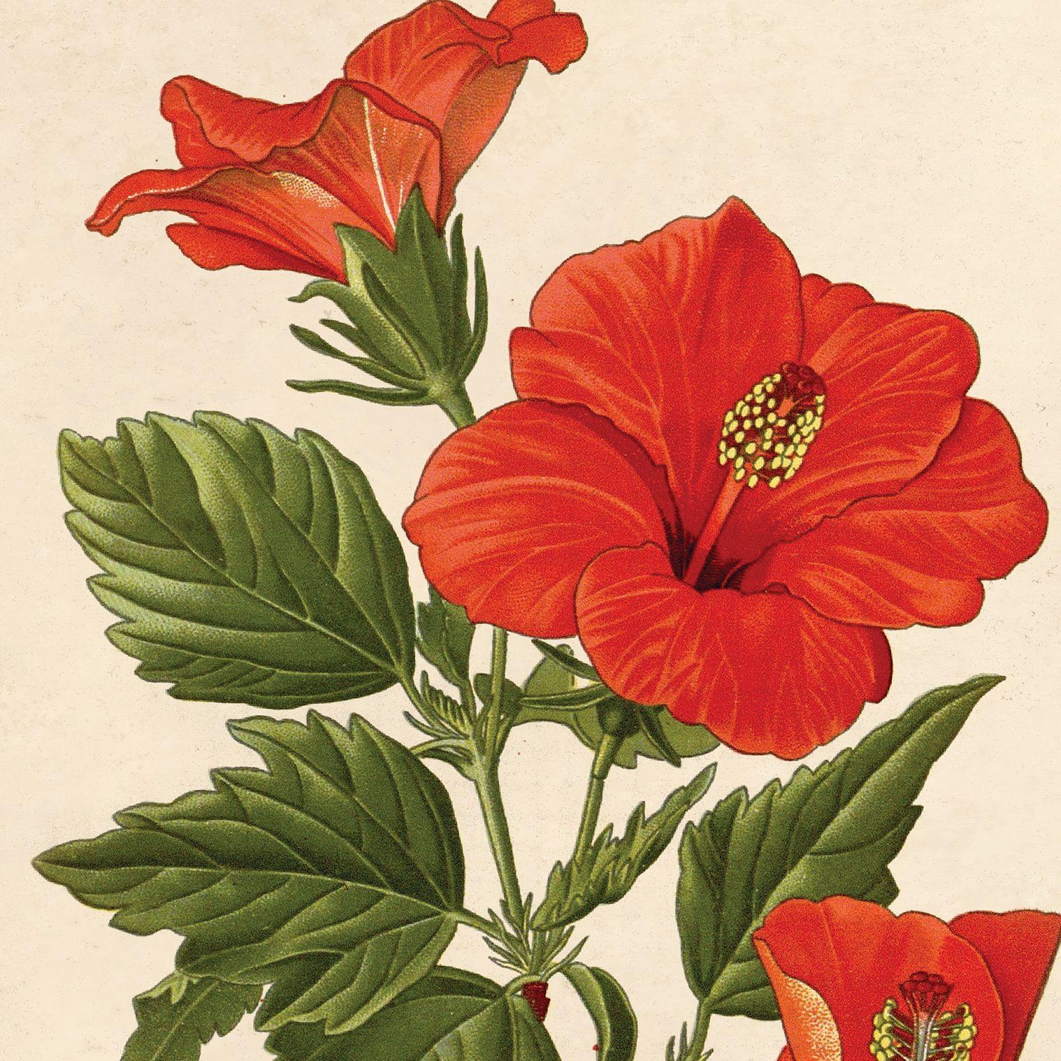 Vintage Tropical Hibiscus Flower Print. Educational