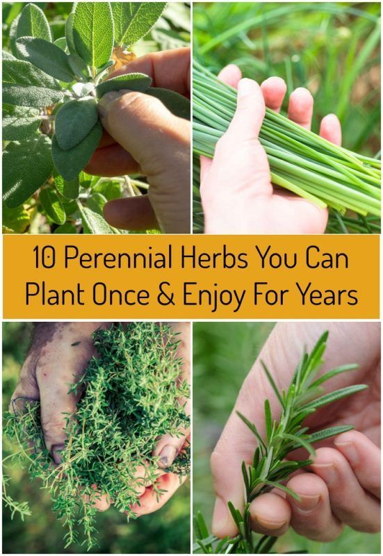 Photo of 10 Perennial Herbs You Can Plant Once & Enjoy For Years