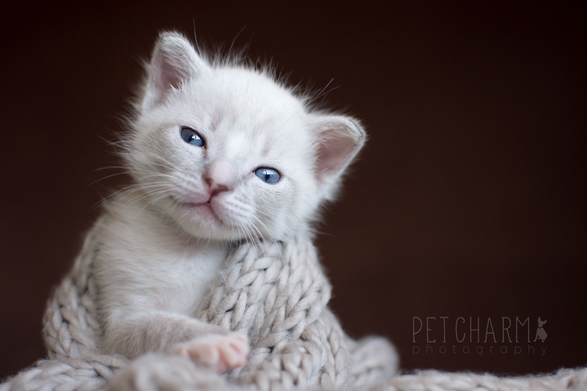 Blue Eyed Siamese Kitten Newborn Photo Shoot Pet Photography Cute Baby Cats Siamese Kittens Cute Little Animals