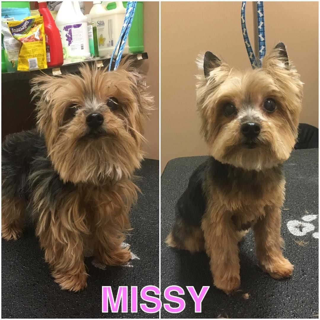 Dog Grooming Pet Photography On Instagram Missy Before And After I M Grooming At Pet Valu 8290 Hwy 27 Book An Appointment If Dog Grooming Dogs Grooming