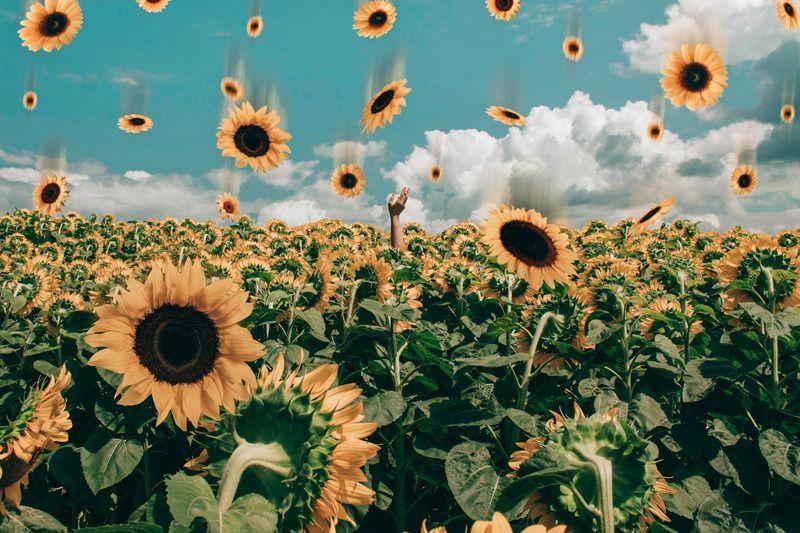 Growing Seed Of A Sunflower Guruflowers Com Sunflower Wallpaper Sunflowers Background Flower Desktop Wallpaper