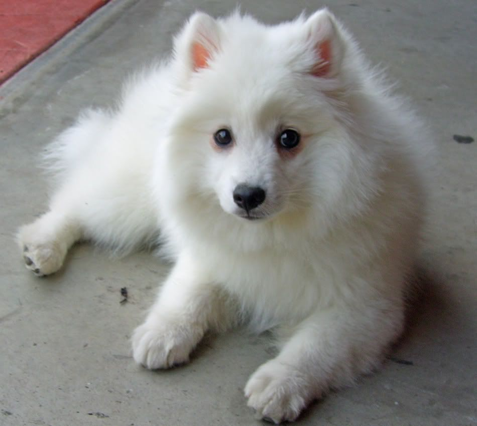 Anese Spitz Small Dogs Suitable For Apartments