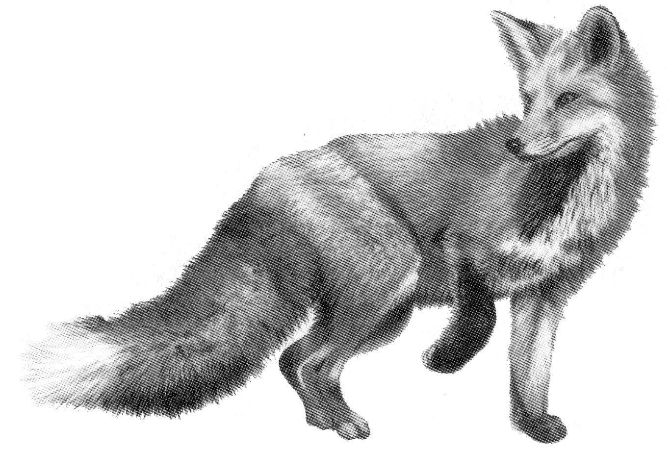 Last of the Foxes   Animal tattoos, Fox drawing, Fox sketch