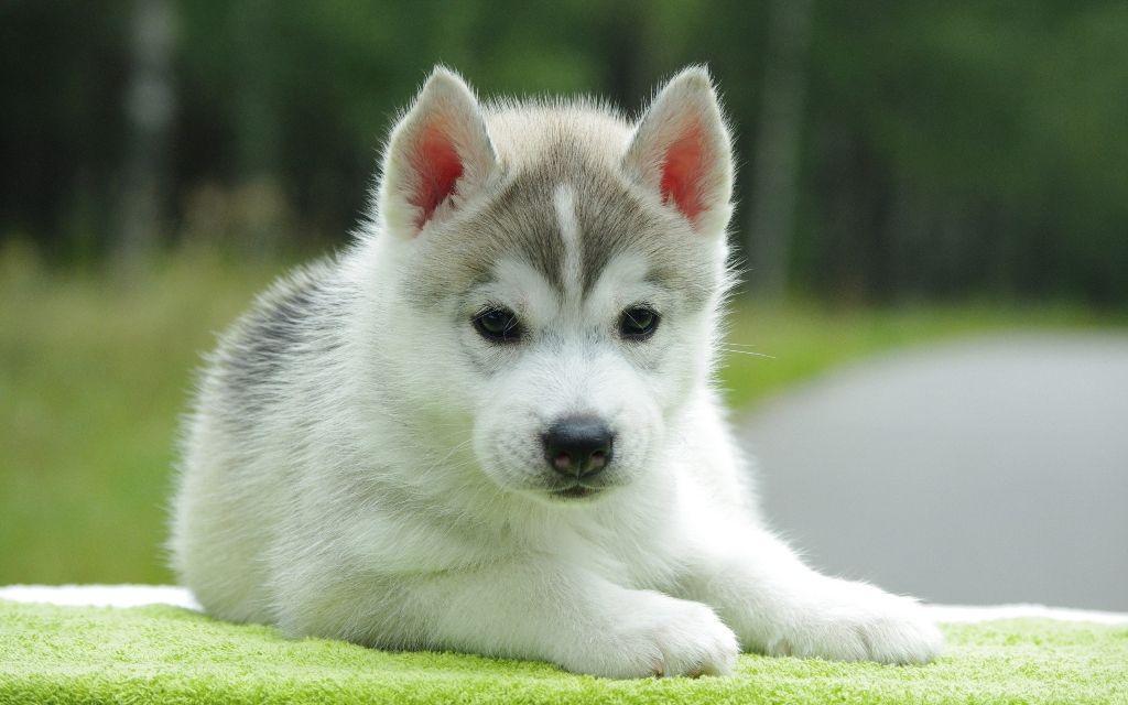 Siberian Husky Puppies Susseste Haustiere Niedliche Welpen Welpen