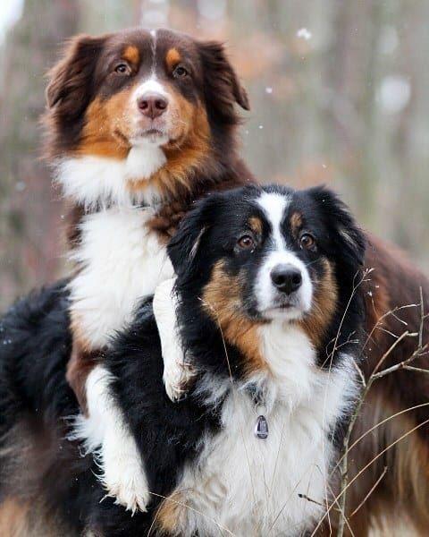 Photo of 17 Evidencia de que los pastores australianos son la raza de perros más desagradable del mundo