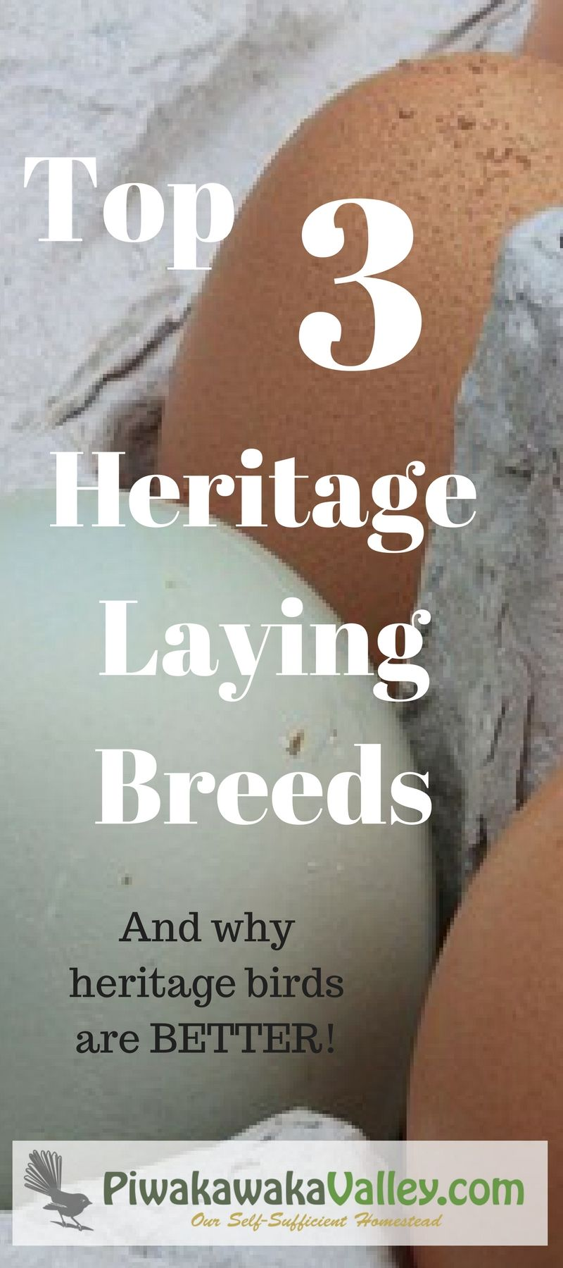 top 3 heritage egg laying chicken breeds laying chickens