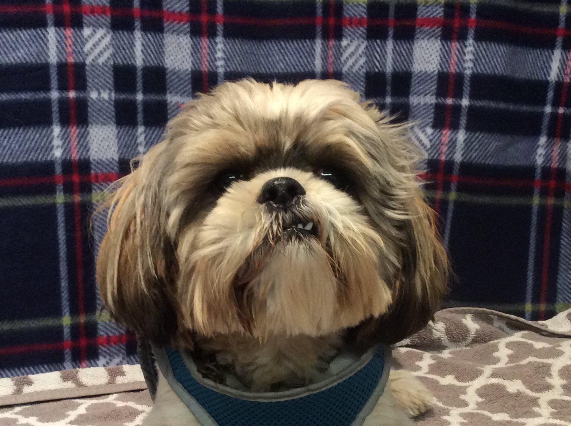 Shih Tzu Dog For Adoption In Pomona Ca Adn 421132 On Puppyfinder