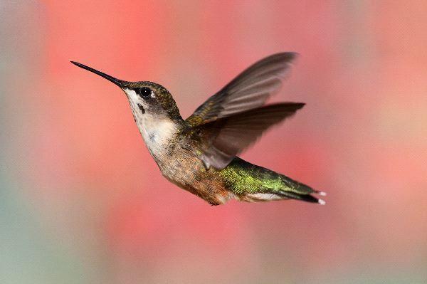 Female Ruby Throated Hummingbird Www Hummingworlds Com Ruby Throated Hummingbird Hummingbird Hummingbird Food