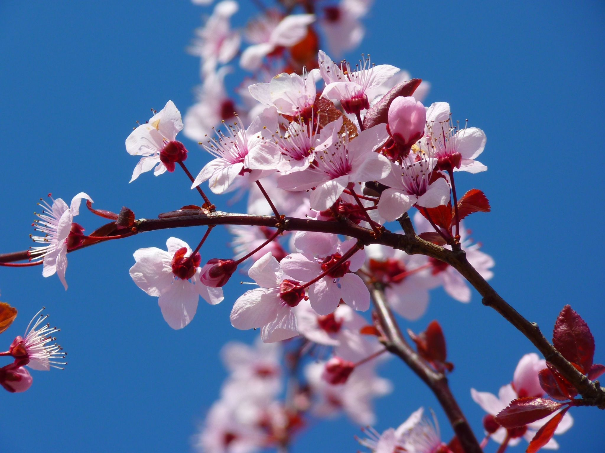 Cherry Blossom Photos Wallpapers Japanese Cherry Tree Japanese Cherry Blossom Almond Blossom