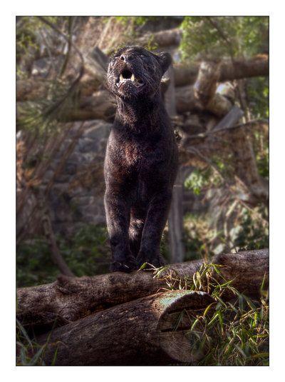 Jaguar Black Panther By Dr Koesters Deviantart Com Panther