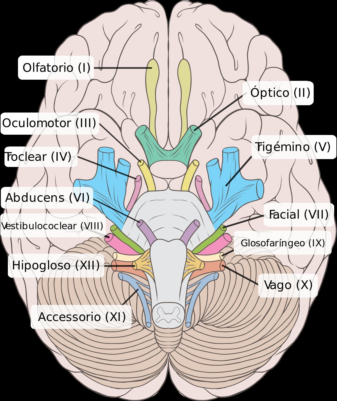 Sistema Nervioso Humano explicado fácil | TF | Pinterest | Medicine ...