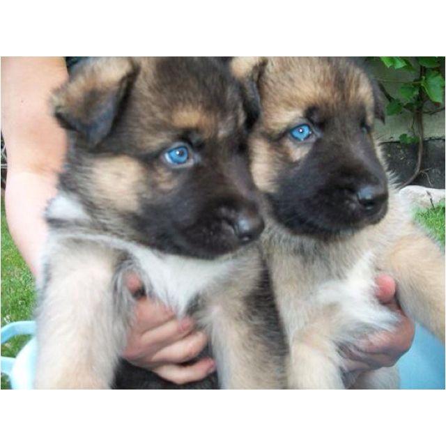 Blue Eyes Mixture Of German Shepard And Alaskan Malamute