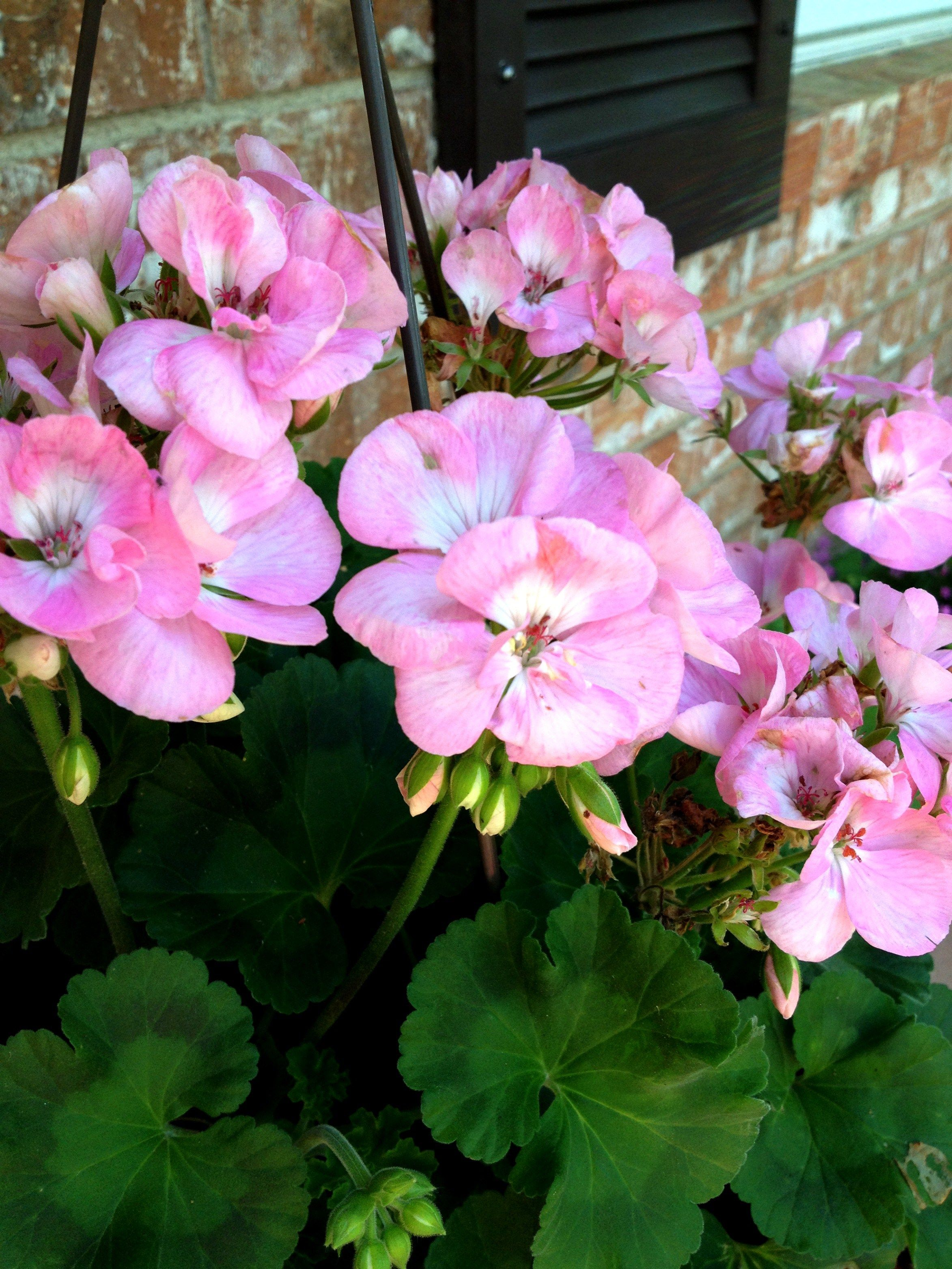 Four easy tips on potted geraniums container garden - How to plant a flower garden for dummies ...