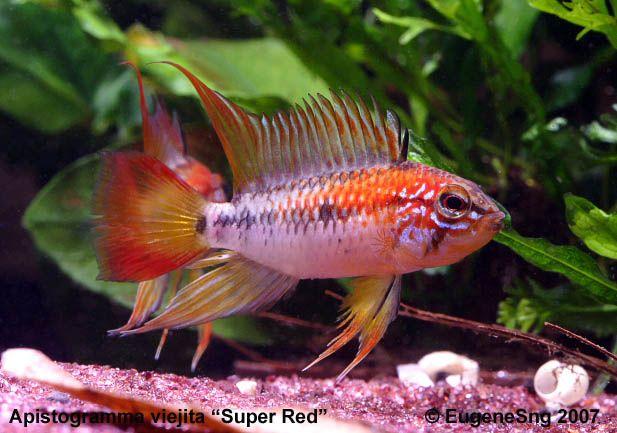 Apistogramma Agassizi Flame Red Aka Fire Red Question Aquarium Fish Tropical Fish Aquarium Freshwater Aquarium Fish