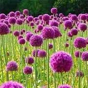 Allium Lucy Ball Click Image To Add Your Plants List And