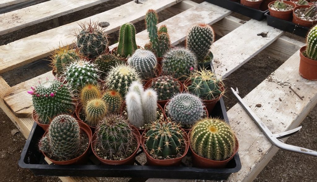"""Cactus in 4"""" containers, 3.50 each, shipped all ovr the"""