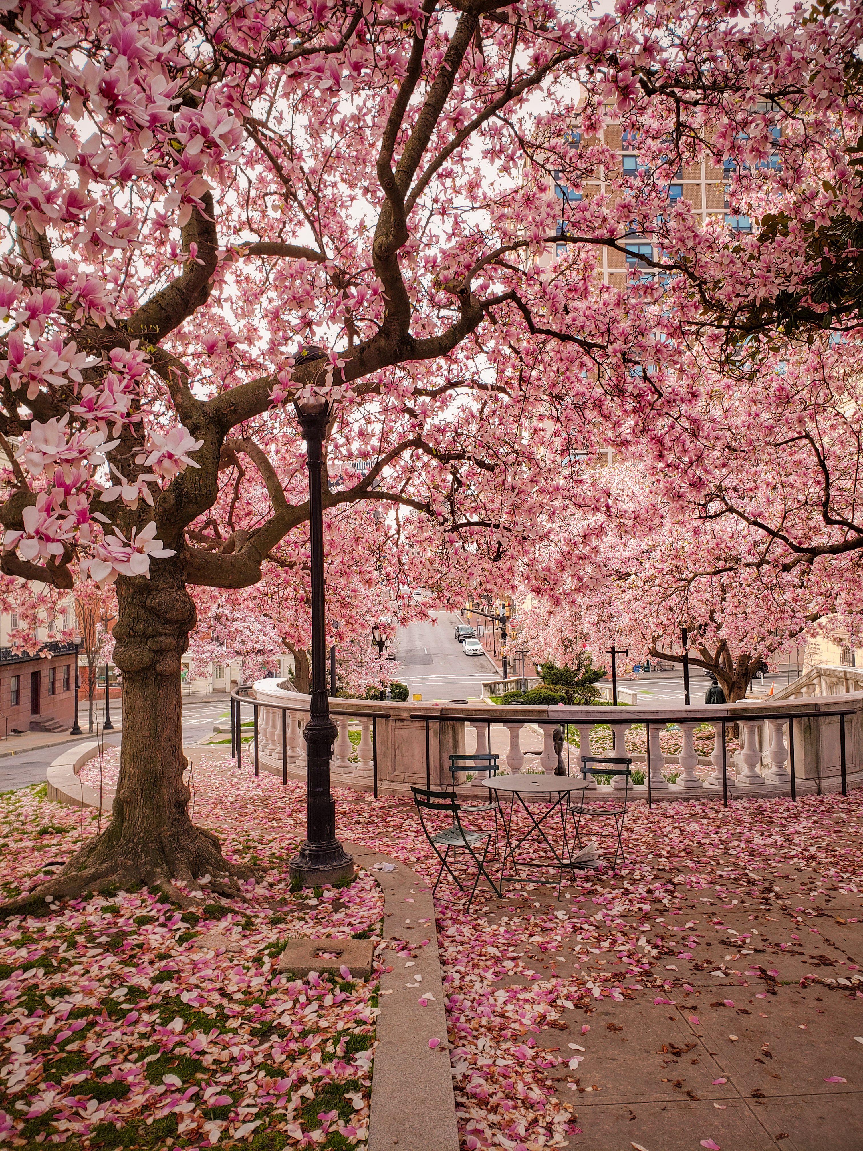 Beautiful Springtime Blooms In Baltimore Md Virginia Travel Mount Vernon Photo