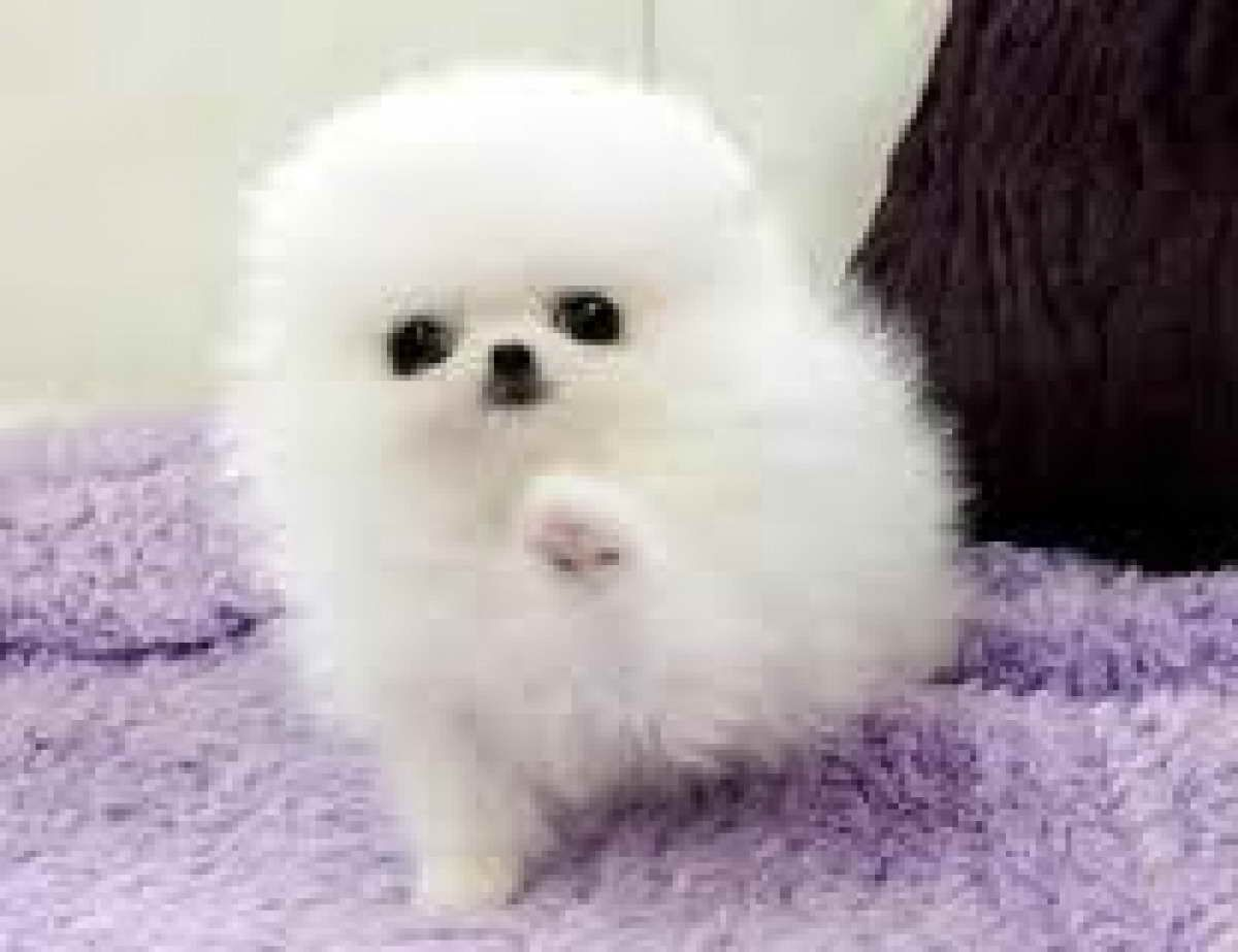 Baby Pomeranian Puppies For Sale Pomeranian Puppy For Sale Baby Pomeranian Pomeranian Puppy