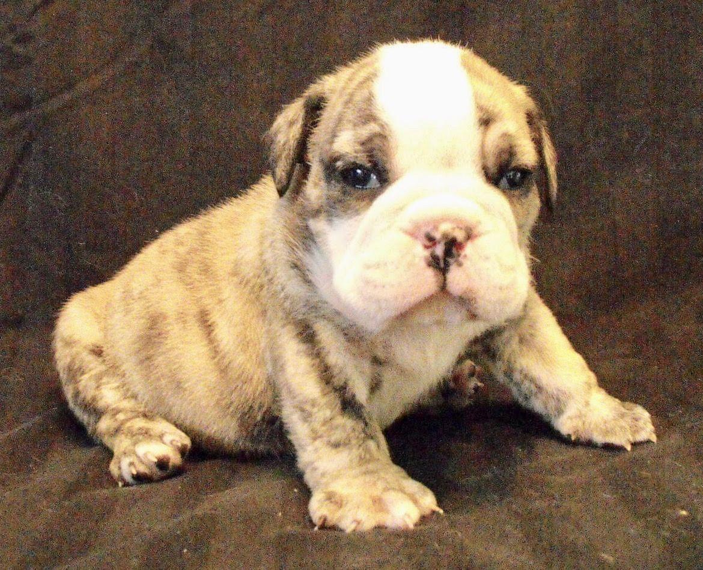 Bud Is A Brindle Male English Bulldog Puppy American Born And
