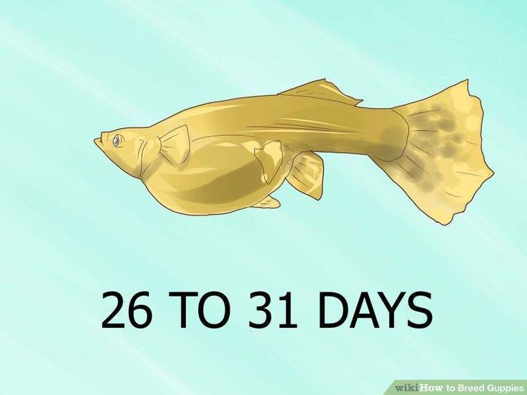 How To Breed Guppies 11 Steps With Pictures Guppy Fish Guppy Freshwater Aquarium Fish