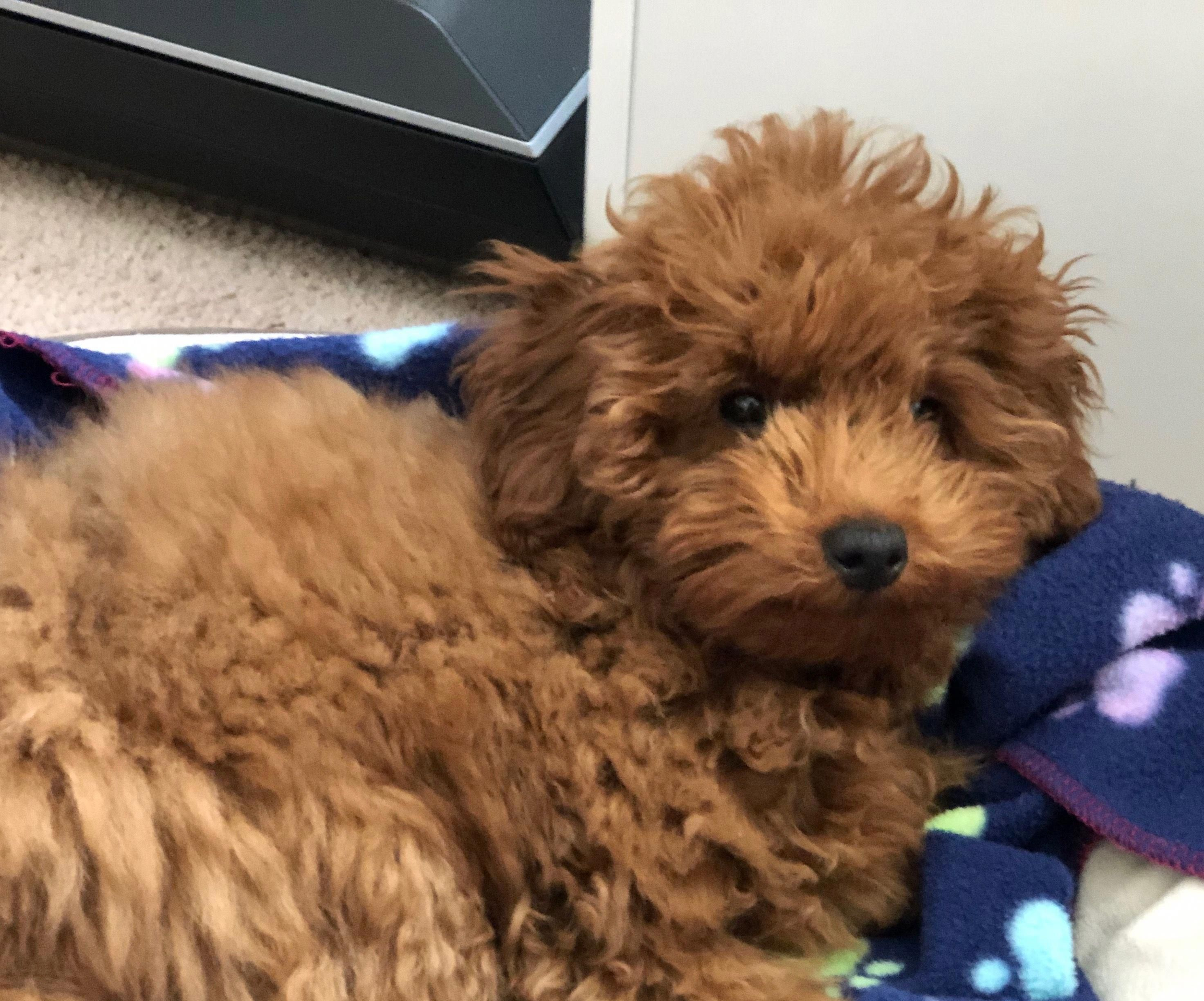 Poodles Smart Active And Proud Toy Poodle Training