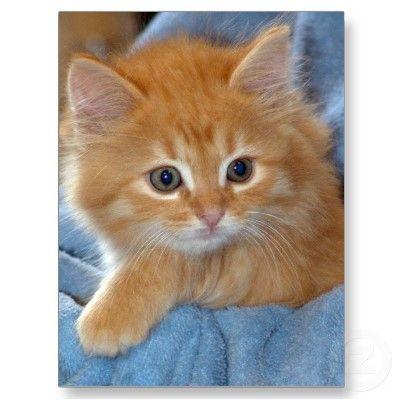 Orange Tabby Kitten Postcards Zazzle Com Tabby Kitten Orange Orange Kittens Orange Tabby