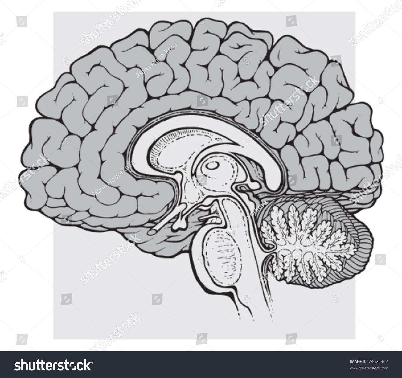 Human Brain Sagittal View Medical Schematic Illustration On White Brain Drawing Brain Vector Medical Illustration