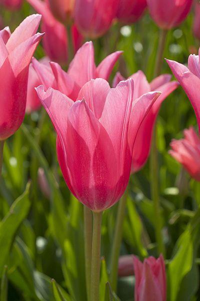 Tulip Bulbs Jacqueline Tulip Bulbs For Sale Tulip Bulbs Tulip Bulbs For Sale Tulips