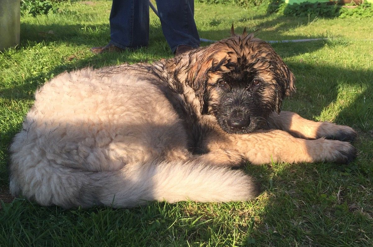 Beautiful Morgana Our Leonberger Puppy At 12 Weeks Old Leonberger Puppy Leonberger Dogs