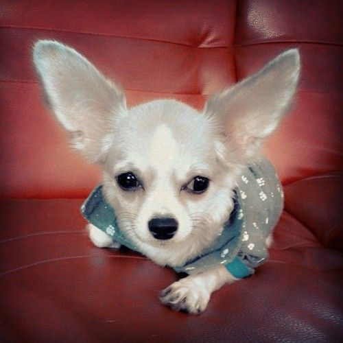 Chihuahua 3 1 Comes With Sonar Wi Fi Capabilities Love Pet