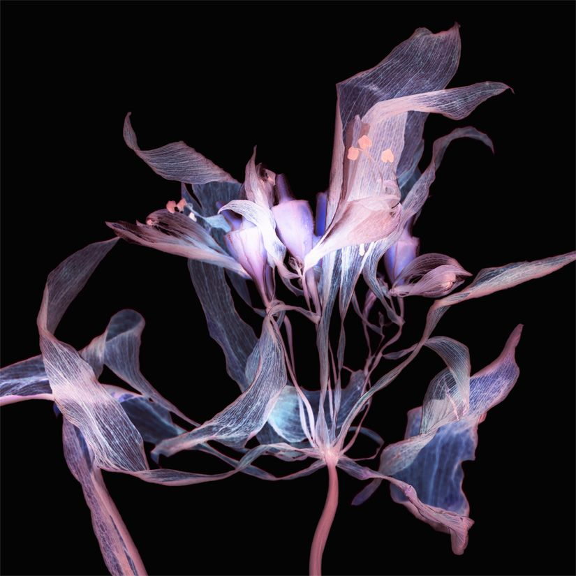 Lindsay a photogram from a dried alstromaria flower.